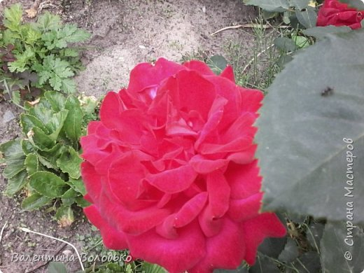 Приветствую вас дорогие жители Страны Мастеров!!!Я очень люблю цветы и выращиваю их .Хочу поделиться своими цветочками с вами. фото 15