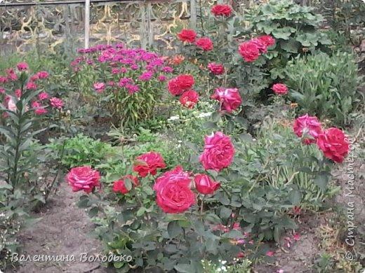 Приветствую вас дорогие жители Страны Мастеров!!!Я очень люблю цветы и выращиваю их .Хочу поделиться своими цветочками с вами. фото 16