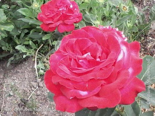 Приветствую вас дорогие жители Страны Мастеров!!!Я очень люблю цветы и выращиваю их .Хочу поделиться своими цветочками с вами. фото 18