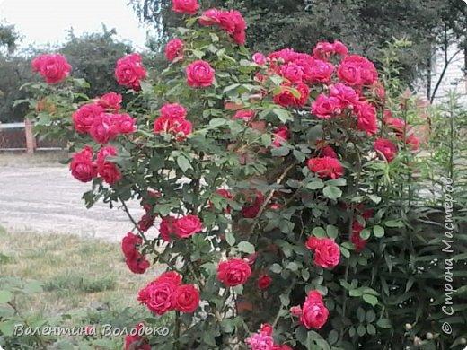 Приветствую вас дорогие жители Страны Мастеров!!!Я очень люблю цветы и выращиваю их .Хочу поделиться своими цветочками с вами. фото 19