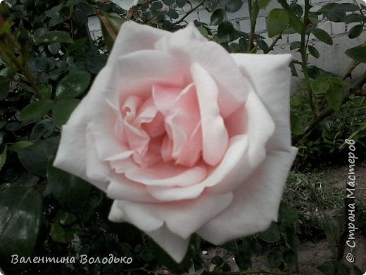 Приветствую вас дорогие жители Страны Мастеров!!!Я очень люблю цветы и выращиваю их .Хочу поделиться своими цветочками с вами. фото 20