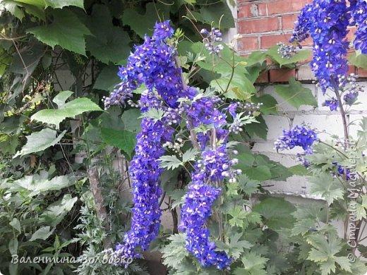 Приветствую вас дорогие жители Страны Мастеров!!!Я очень люблю цветы и выращиваю их .Хочу поделиться своими цветочками с вами. фото 21