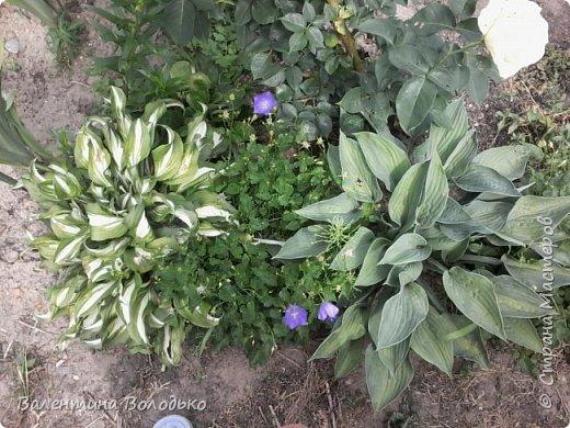 Приветствую вас дорогие жители Страны Мастеров!!!Я очень люблю цветы и выращиваю их .Хочу поделиться своими цветочками с вами. фото 23
