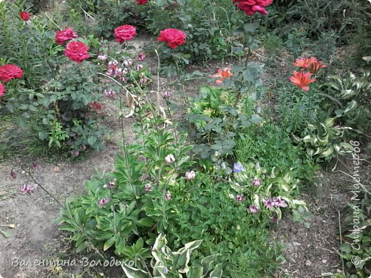Приветствую вас дорогие жители Страны Мастеров!!!Я очень люблю цветы и выращиваю их .Хочу поделиться своими цветочками с вами. фото 24