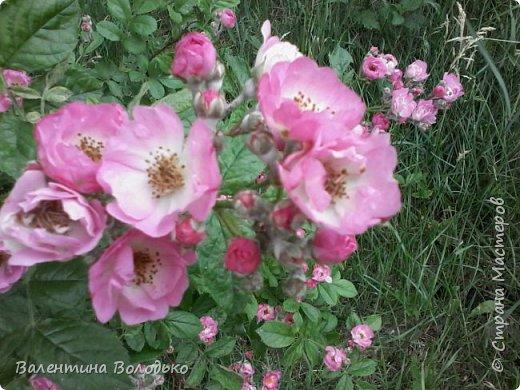 Приветствую вас дорогие жители Страны Мастеров!!!Я очень люблю цветы и выращиваю их .Хочу поделиться своими цветочками с вами. фото 25