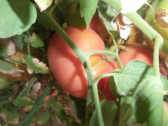 вот он синьор помидор на грядке