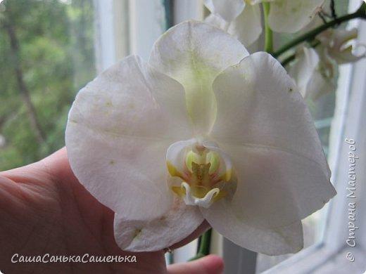 Вот таким пышным и одновременным цветением порадовали меня мои красотки!  фото 3