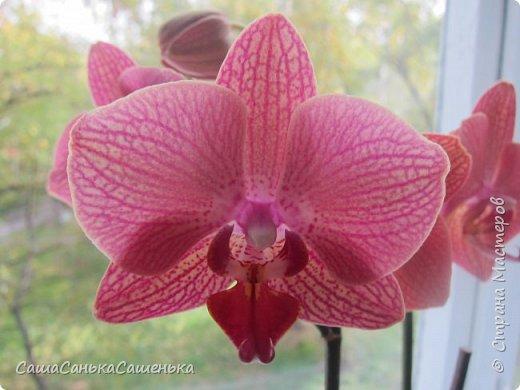 Вот таким пышным и одновременным цветением порадовали меня мои красотки!  фото 10