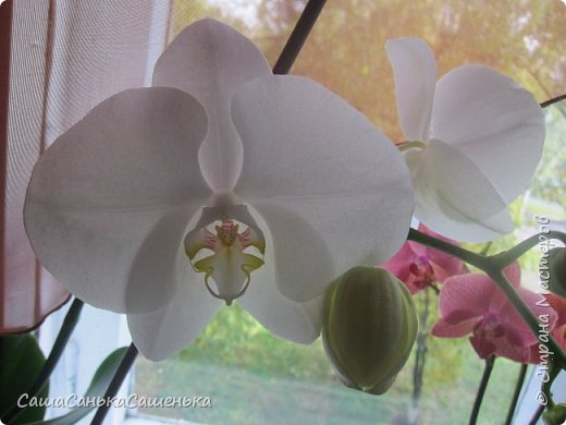 Вот таким пышным и одновременным цветением порадовали меня мои красотки!  фото 4
