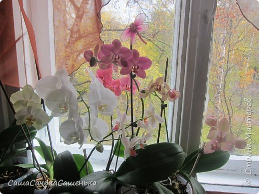 Вот таким пышным и одновременным цветением порадовали меня мои красотки!  фото 13