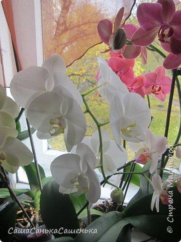 Вот таким пышным и одновременным цветением порадовали меня мои красотки!  фото 2