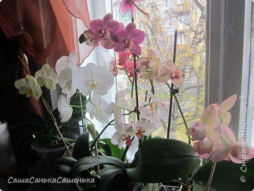 Вот таким пышным и одновременным цветением порадовали меня мои красотки!  фото 1