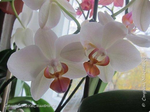 Вот таким пышным и одновременным цветением порадовали меня мои красотки!  фото 12