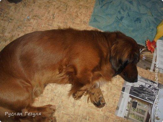 Спешу представить репортаж про моих собак! Фото получилось немного, потому что псы сильно вертятся! Нужно ловить момент, чтобы сделать снимок! Собак зовут Макс (можно Мася) и Миша (можно Мишка)  Макс грызёт вкусную морковку!  фото 4