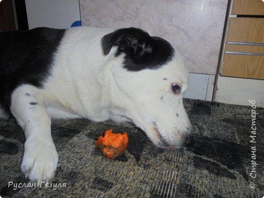 Спешу представить репортаж про моих собак! Фото получилось немного, потому что псы сильно вертятся! Нужно ловить момент, чтобы сделать снимок! Собак зовут Макс (можно Мася) и Миша (можно Мишка)  Макс грызёт вкусную морковку!  фото 1