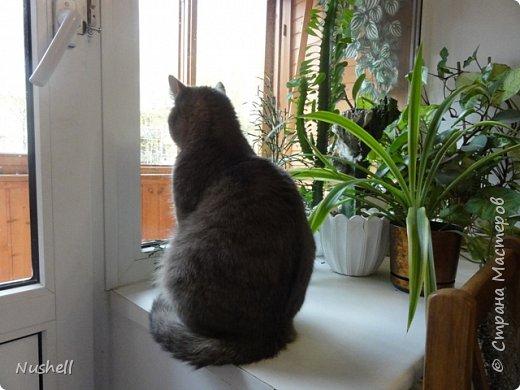 Сегодня наводила порядок в компе и собрала в отдельную папку фотографии своих кошек, которые жили у меня в недалёком прошлом. Такая накатила ностальгия, хоть плачь...Все эти мои любимки ушли в разное время в результате естественного отбора- где машина, где собаки, где возраст, где просто- ушёл и не вернулся. Сейчас у меня нет никого, кошки только на душе иногда скребутся. Без кошек и я сама изменилась, стала жёстче, что ли... Сердце-то отогреть могли только они. Этот пост хочу оставить себе на память, ну и вас приглашаю поглазеть. Обещаю- хоть и грущу сама, но вас постараюсь улыбнуть.  Итак, моё чёрное чудо с бирюзовыми глазами- кот Тимоха. Был снят  месячным, если не меньше, с берёзы, где он сидел под проливным холодным дождём двое суток и жалобно пищал. Слышали этот писк, но никак не могли определить, откуда он раздаётся. И вот я утром пошла на работу, уже опаздывала. Опять где-то пищит. Проходя мимо берёз, мне как будто какой-то голос подсказал: посмотри наверх! Боже, как он туда залез, такой малюська с ладошку? Нафиг работу, побежала будить мужа: вставай, говорю, бери стремянку, пошли! Куда, куда- ребёнка спасать! Ну, на работу я опоздала аж на час, ведь надо было помыть мелкого тёплой водичкой- замёрз и дрожал. Потом закутать в тёплый шарфик, уложить в мягкое кресло. Потом найти подобие лотка-туалета, приготовить мисочку, отдать мужу приказы по уходу до моего возвращения... Но опоздание мне простили после моего рассказа об этом случае. Тимоха вырос в шикарного брюнета и ловеласа- пел серенады на улице так громко, что было слышно на весь квартал. фото 14