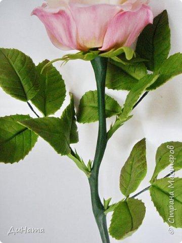 роза фото 6