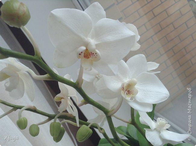 Орхидея фаленопсис из холодного фарфора. фото 8