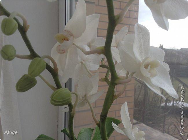 Орхидея фаленопсис из холодного фарфора. фото 13