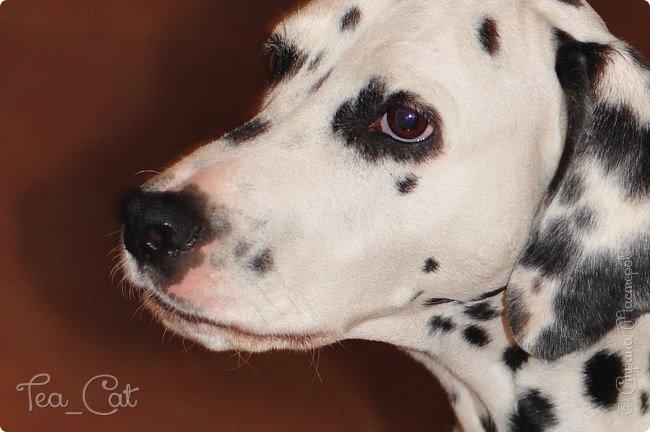 Доброго Времени суток, Жители Страны Мастеров. В этом блоге я хочу показать вам мою любимую собаку Дарлу. фото 1