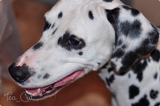 Доброго Времени суток, Жители Страны Мастеров. В этом блоге я хочу показать вам мою любимую собаку Дарлу. фото 2