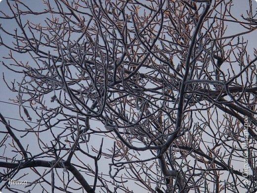 """Зима у нас очень """"странная"""" в этом году. Снежных, морозных, по настоящему зимних дней, практически, не было. Но... в Новый год у нас был и снег пушистый и мороз трескучий! Да такой, что фото всей этой красоты мне """"обошлось"""" в замерзшие почти до лёгкого отмораживания рук (в варежках-перчатках нуууу очень неудобно было). -22-24 мороза, %70-75 влажности - и вот такая красота на деревьях и кустах! Часть фото сделано  на фотоаппарат, часть - на телефон. Фотоаппарат отказался работать в таких условиях, телефон ему """"поддакивал"""".  Оно и понятно, в тепле-в добре оно получше за зимней красотой наблюдать. Предлагаю и вам посмотреть, то что успела сфотографировать.  Это - грецкий орех. Приодели его в такой вот наряд. Лёгкая наледь и иней такой бархатистый на вид. И всё это на фоне голубого неба. фото 3"""