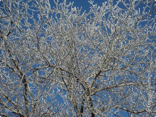 """Зима у нас очень """"странная"""" в этом году. Снежных, морозных, по настоящему зимних дней, практически, не было. Но... в Новый год у нас был и снег пушистый и мороз трескучий! Да такой, что фото всей этой красоты мне """"обошлось"""" в замерзшие почти до лёгкого отмораживания рук (в варежках-перчатках нуууу очень неудобно было). -22-24 мороза, %70-75 влажности - и вот такая красота на деревьях и кустах! Часть фото сделано  на фотоаппарат, часть - на телефон. Фотоаппарат отказался работать в таких условиях, телефон ему """"поддакивал"""".  Оно и понятно, в тепле-в добре оно получше за зимней красотой наблюдать. Предлагаю и вам посмотреть, то что успела сфотографировать.  Это - грецкий орех. Приодели его в такой вот наряд. Лёгкая наледь и иней такой бархатистый на вид. И всё это на фоне голубого неба. фото 4"""