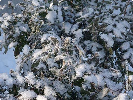 """Зима у нас очень """"странная"""" в этом году. Снежных, морозных, по настоящему зимних дней, практически, не было. Но... в Новый год у нас был и снег пушистый и мороз трескучий! Да такой, что фото всей этой красоты мне """"обошлось"""" в замерзшие почти до лёгкого отмораживания рук (в варежках-перчатках нуууу очень неудобно было). -22-24 мороза, %70-75 влажности - и вот такая красота на деревьях и кустах! Часть фото сделано  на фотоаппарат, часть - на телефон. Фотоаппарат отказался работать в таких условиях, телефон ему """"поддакивал"""".  Оно и понятно, в тепле-в добре оно получше за зимней красотой наблюдать. Предлагаю и вам посмотреть, то что успела сфотографировать.  Это - грецкий орех. Приодели его в такой вот наряд. Лёгкая наледь и иней такой бархатистый на вид. И всё это на фоне голубого неба. фото 9"""