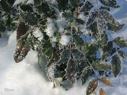 """Зима у нас очень """"странная"""" в этом году. Снежных, морозных, по настоящему зимних дней, практически, не было. Но... в Новый год у нас был и снег пушистый и мороз трескучий! Да такой, что фото всей этой красоты мне """"обошлось"""" в замерзшие почти до лёгкого отмораживания рук (в варежках-перчатках нуууу очень неудобно было). -22-24 мороза, %70-75 влажности - и вот такая красота на деревьях и кустах! Часть фото сделано  на фотоаппарат, часть - на телефон. Фотоаппарат отказался работать в таких условиях, телефон ему """"поддакивал"""".  Оно и понятно, в тепле-в добре оно получше за зимней красотой наблюдать. Предлагаю и вам посмотреть, то что успела сфотографировать.  Это - грецкий орех. Приодели его в такой вот наряд. Лёгкая наледь и иней такой бархатистый на вид. И всё это на фоне голубого неба. фото 10"""