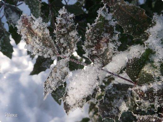 """Зима у нас очень """"странная"""" в этом году. Снежных, морозных, по настоящему зимних дней, практически, не было. Но... в Новый год у нас был и снег пушистый и мороз трескучий! Да такой, что фото всей этой красоты мне """"обошлось"""" в замерзшие почти до лёгкого отмораживания рук (в варежках-перчатках нуууу очень неудобно было). -22-24 мороза, %70-75 влажности - и вот такая красота на деревьях и кустах! Часть фото сделано  на фотоаппарат, часть - на телефон. Фотоаппарат отказался работать в таких условиях, телефон ему """"поддакивал"""".  Оно и понятно, в тепле-в добре оно получше за зимней красотой наблюдать. Предлагаю и вам посмотреть, то что успела сфотографировать.  Это - грецкий орех. Приодели его в такой вот наряд. Лёгкая наледь и иней такой бархатистый на вид. И всё это на фоне голубого неба. фото 11"""