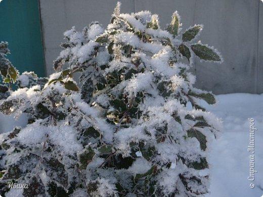 """Зима у нас очень """"странная"""" в этом году. Снежных, морозных, по настоящему зимних дней, практически, не было. Но... в Новый год у нас был и снег пушистый и мороз трескучий! Да такой, что фото всей этой красоты мне """"обошлось"""" в замерзшие почти до лёгкого отмораживания рук (в варежках-перчатках нуууу очень неудобно было). -22-24 мороза, %70-75 влажности - и вот такая красота на деревьях и кустах! Часть фото сделано  на фотоаппарат, часть - на телефон. Фотоаппарат отказался работать в таких условиях, телефон ему """"поддакивал"""".  Оно и понятно, в тепле-в добре оно получше за зимней красотой наблюдать. Предлагаю и вам посмотреть, то что успела сфотографировать.  Это - грецкий орех. Приодели его в такой вот наряд. Лёгкая наледь и иней такой бархатистый на вид. И всё это на фоне голубого неба. фото 16"""