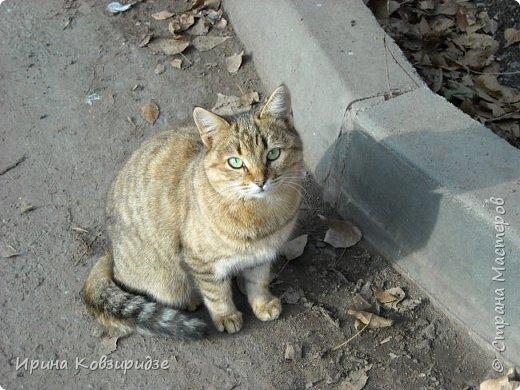 Много лет я фотографировала котов и кошек, гуляя с внуком. Вот эти фотографии. Это кот Кузя. Он долгое время жил в парке, где мы гуляли. Кто-то его принёс туда из дома и оставил. Кот был ручной и ласковый. Его хотели забрать к себе домой люди, наверное и забрали.  фото 4