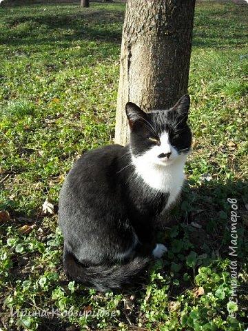 Много лет я фотографировала котов и кошек, гуляя с внуком. Вот эти фотографии. Это кот Кузя. Он долгое время жил в парке, где мы гуляли. Кто-то его принёс туда из дома и оставил. Кот был ручной и ласковый. Его хотели забрать к себе домой люди, наверное и забрали.  фото 3