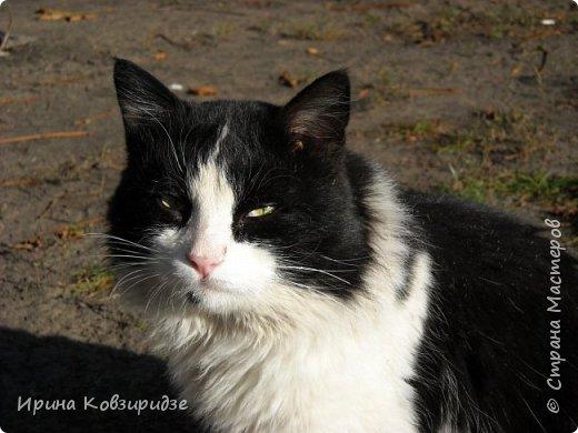 Много лет я фотографировала котов и кошек, гуляя с внуком. Вот эти фотографии. Это кот Кузя. Он долгое время жил в парке, где мы гуляли. Кто-то его принёс туда из дома и оставил. Кот был ручной и ласковый. Его хотели забрать к себе домой люди, наверное и забрали.  фото 7