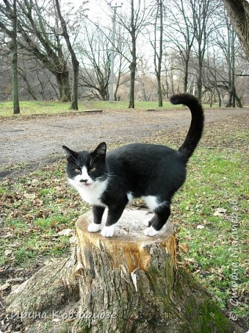 Много лет я фотографировала котов и кошек, гуляя с внуком. Вот эти фотографии. Это кот Кузя. Он долгое время жил в парке, где мы гуляли. Кто-то его принёс туда из дома и оставил. Кот был ручной и ласковый. Его хотели забрать к себе домой люди, наверное и забрали.  фото 1