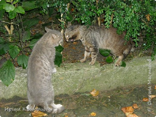 Много лет я фотографировала котов и кошек, гуляя с внуком. Вот эти фотографии. Это кот Кузя. Он долгое время жил в парке, где мы гуляли. Кто-то его принёс туда из дома и оставил. Кот был ручной и ласковый. Его хотели забрать к себе домой люди, наверное и забрали.  фото 14