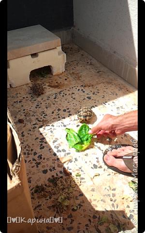Всем привет. Сегодня я раскажу о моей утрате... Это Зеленуха Желтопузая Десертная (кто смотрел сваты 6 узнают), это хамелион (у меня было два, первый умер через 3 месяца после покупки, Его звали Паскаль, А это второй). Очень давно мы ее выпустили, потому что надо было ехать... И вместе с черепахами отпустили...  фото 3