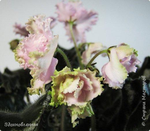Расцвела моя фитония. Очень ждала ее цветения... фото 23