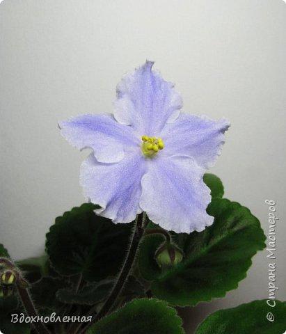 Расцвела моя фитония. Очень ждала ее цветения... фото 21