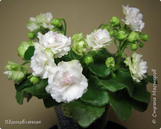 Расцвела моя фитония. Очень ждала ее цветения... фото 11