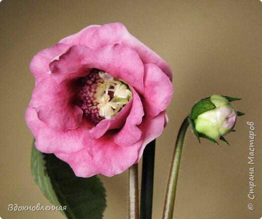 Расцвела моя фитония. Очень ждала ее цветения... фото 15