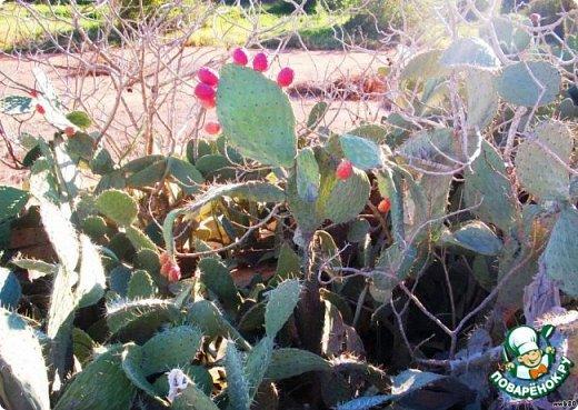 Добрый день, земляки! Продолжаю свой рассказ о цветущих кактусах из моей коллекции. Первая часть - http://stranamasterov.ru/node/1002926. О кактусах у меня есть ещё одна запись - http://stranamasterov.ru/node/1002823 Также расскажу о некоторых кактусах, плоды которых употребляют в пищу. Это какой-то Турбиникарпус. Размер кактуса около 3-4 сантиметров. На следующих фото ещё Турбиникарпусы разных видов. фото 18