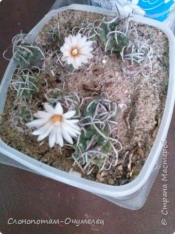 Добрый день, земляки! Продолжаю свой рассказ о цветущих кактусах из моей коллекции. Первая часть - http://stranamasterov.ru/node/1002926. О кактусах у меня есть ещё одна запись - http://stranamasterov.ru/node/1002823 Также расскажу о некоторых кактусах, плоды которых употребляют в пищу. Это какой-то Турбиникарпус. Размер кактуса около 3-4 сантиметров. На следующих фото ещё Турбиникарпусы разных видов. фото 8