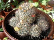 Добрый день, земляки! Продолжаю свой рассказ о цветущих кактусах из моей коллекции. Первая часть - http://stranamasterov.ru/node/1002926. О кактусах у меня есть ещё одна запись - http://stranamasterov.ru/node/1002823 Также расскажу о некоторых кактусах, плоды которых употребляют в пищу. Это какой-то Турбиникарпус. Размер кактуса около 3-4 сантиметров. На следующих фото ещё Турбиникарпусы разных видов. фото 21