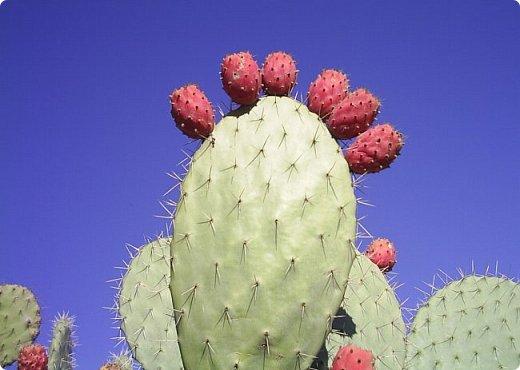 Добрый день, земляки! Продолжаю свой рассказ о цветущих кактусах из моей коллекции. Первая часть - http://stranamasterov.ru/node/1002926. О кактусах у меня есть ещё одна запись - http://stranamasterov.ru/node/1002823 Также расскажу о некоторых кактусах, плоды которых употребляют в пищу. Это какой-то Турбиникарпус. Размер кактуса около 3-4 сантиметров. На следующих фото ещё Турбиникарпусы разных видов. фото 20