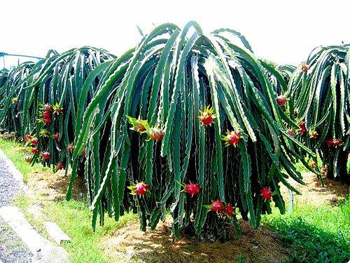 Добрый день, земляки! Продолжаю свой рассказ о цветущих кактусах из моей коллекции. Первая часть - http://stranamasterov.ru/node/1002926. О кактусах у меня есть ещё одна запись - http://stranamasterov.ru/node/1002823 Также расскажу о некоторых кактусах, плоды которых употребляют в пищу. Это какой-то Турбиникарпус. Размер кактуса около 3-4 сантиметров. На следующих фото ещё Турбиникарпусы разных видов. фото 14