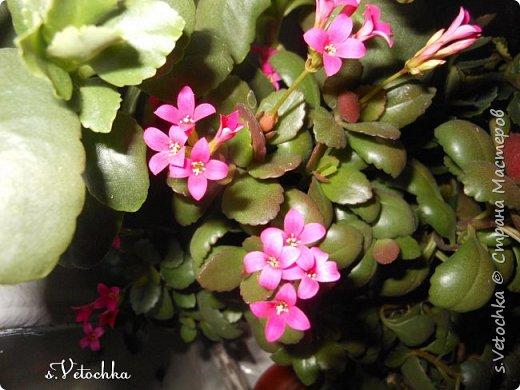 У меня три сорта (или вида?) стапелий.  У первой стапелии цветок в виде звезды.  фото 8
