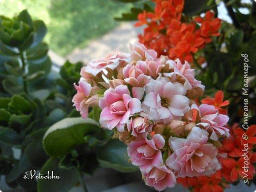 У меня три сорта (или вида?) стапелий.  У первой стапелии цветок в виде звезды.  фото 13