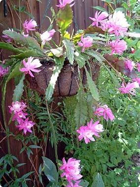 Привет Стране! Продолжаю публикацию записей о цветущих кактусах из моей коллекции. Начало здесь - http://stranamasterov.ru/node/1002926 и здесь http://stranamasterov.ru/node/1003089. Как бонус расскажу некоторые интересные факты о кактусах. Начинаю. Это Айлостера гелиоза. фото 12