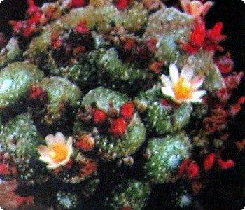Привет Стране! Продолжаю публикацию записей о цветущих кактусах из моей коллекции. Начало здесь - http://stranamasterov.ru/node/1002926 и здесь http://stranamasterov.ru/node/1003089. Как бонус расскажу некоторые интересные факты о кактусах. Начинаю. Это Айлостера гелиоза. фото 21